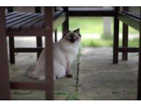 Missing - Ragdoll cat , seal point, female