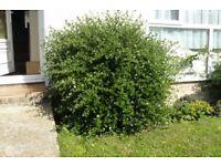 2 shrubs