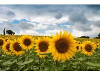 Sunflower plants - Burgess Hill