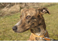 Sweet Lurcher Crossbreed
