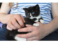 Kitten boy, black and white, 9 weeks, litter trained and wormed