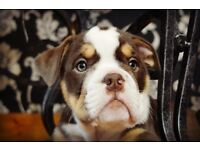 Chocolate Tri Olde English bulldog puppy
