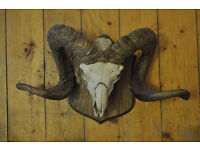 Ram skull with wall mount