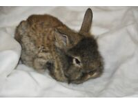 - Beautiful Baby Lionlop bunnies for sale -