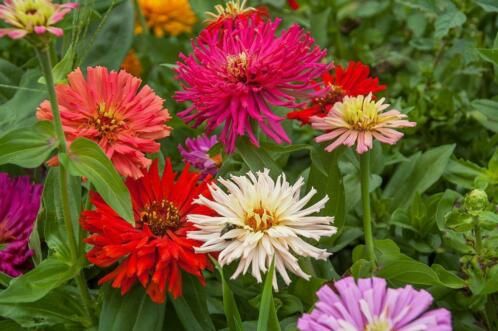 Zinnia Elegans Cactus flowered mix