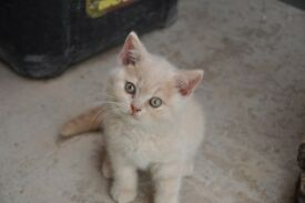 Last one !!!! full pedigree british shorthair kitten for sale WITH PAPERS