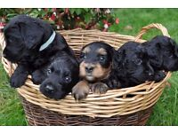Adorable Cockapoo Black and Tan Puppies