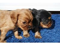 CAVALIER KING CHARLES RUBY AND BLACK & TAN PUPPIES