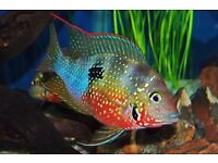 Glorious colourful best THORICHTHYS ELLIOTIS for young adults **FOR SALE** now.
