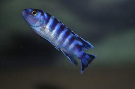 Malawi fish, pseudotropheus demasoni