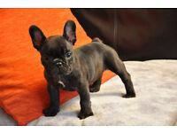 ** Kc French Bulldog Puppies Blue Girl **
