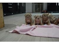 English bulldog puppies Merle/full suits