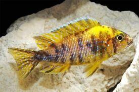 fish Mixed malawi Peacocks cichlids 3 Inch - £7 Each