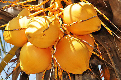 Cocos Nucifera Coconut  Yellow  Exotic Plant Palm Tree Ready To Pot  1 Live Seed