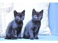 Kitten for sale black female 10 weeks