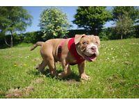 Gorgeous Lilac Fawn bulldog ready now! triple carrier