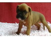 TOP QUALITY KC REGISTERED FEMALE BOXER PUP