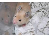 Gorgeous black eyed cream hamsters
