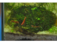 Shrimps (Red Cherry)