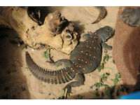 One year old plant eater Ocellated Uromastyx lizard