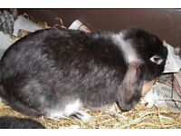 2 rabbits, male and female, approx 8 months old, male is neutered