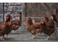 Hyline Free Range Hens for sale