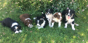 Pure-bred border collie pups