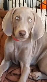 Only have 1 Beautiful girl left KC Registered Weimaraner Pups