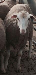 30 young merino Dohne ewes running with Dorset ram.. Bunglegumbie Dubbo Area Preview