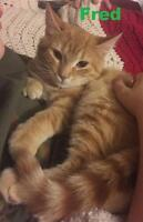 "Baby Male Cat - Domestic Short Hair: ""Fred - Lap kitty!"""