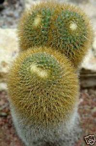 Mammillaria-fuscata-exotic-flowering-pincushion-cacti-rare-cactus-seed-100-SEEDS