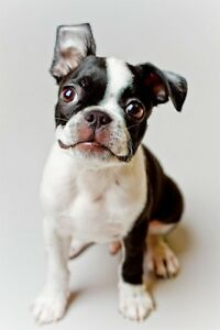 Wanted! boston terrier or Boston terrier mix puppy