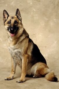 Looking for a German shepherd for my daughter