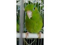 Young Parrotlet parrot