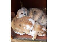 Two female rabbits