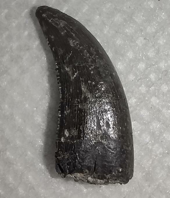 Theropod (Dromaeosaur or Tyrannosaur) Tooth, Two Medicine Formation dinosaur fos