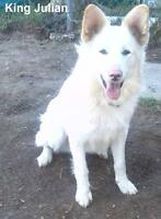 Young Male  - Husky-Collie