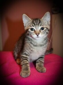 """Baby Male Cat - Domestic Short Hair: """"Lee"""""""