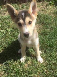 Baby Male  - Husky-Shepherd
