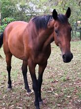 Bombproof Thoroughbred Gelding 12yrs Tamborine Ipswich South Preview