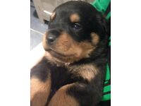 Rottweiler puppies 2boys left