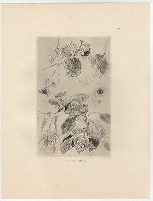 Karl Köpping (1848-1914) : Sonnenblumen. - Radierung, gedruckt 1892