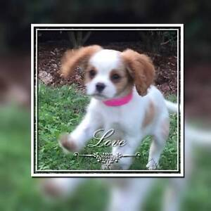 Cavalier King Charlies puppies, DESEXED 10 weeks old Bundall Gold Coast City Preview