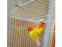Fischer yellow lovebird pair for sale