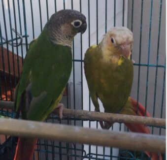 Bonded pair of green cheek Conures