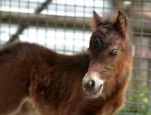 Mini Horse filly - show then breed later on! York York Area Preview