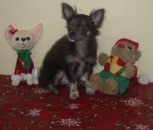 chiot chihuahua a vendre