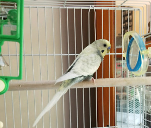Male cream budgie with large cage (green budgie found a home)