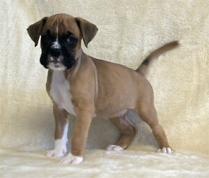 Boxer Puppies - Ready to Go