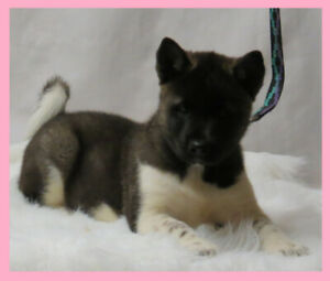 Akita Puppies | Adopt Dogs & Puppies Locally in Canada